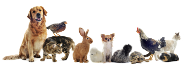 Image of various animals in a row. From left to right, a long haired golden dog sitting, a  grey tabby cat standing with a brown chicken on its back , a light brown rabbit, a fuzzy white chicken, a small white dog with a light broew head, a fuzzy black/gr